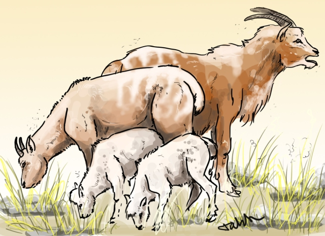 A small family of Myotragus balearicus enjoying a brief moment of luscious grass. (Illuastration by Tabitha Paterson)