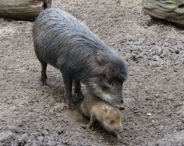 One of the species of peccary arond today, the White-lipped Peccary (). (Image from here)