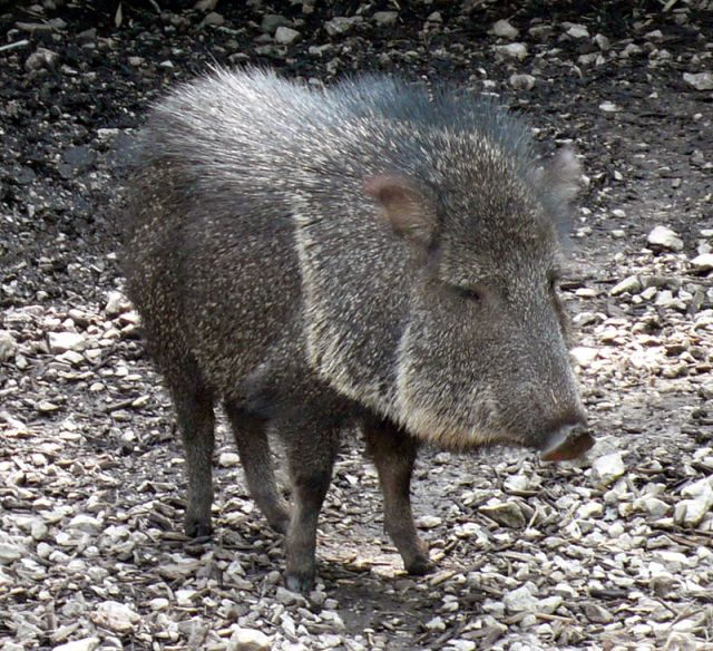 The stern looking Chacoan peccary. This is just one of the four surviving species of peccary from a successful group. (Image from here)