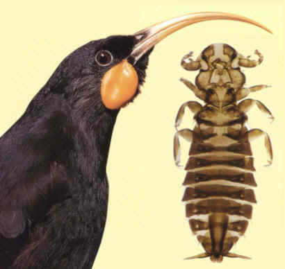 The extinct New Zealand huia (Heteralocha acutirostris) and the equally extinct louse (Rallicola extinctus) that once lived on the huia's feathers. (Image from here)