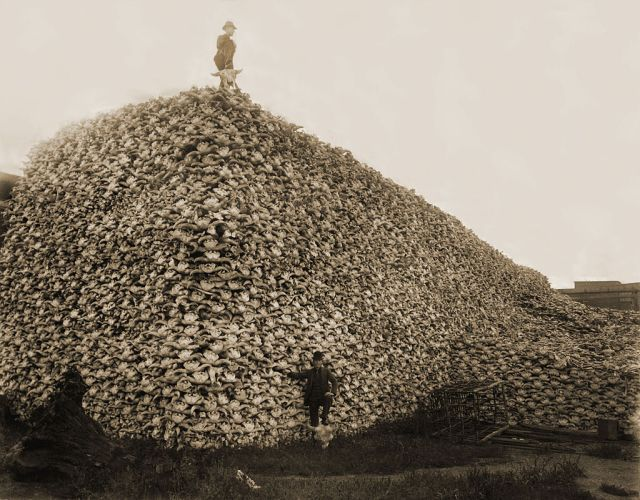 A terribly sad photograph of an enormous pile of unfathomable American bison skulls in the 1870s, waiting to be ground into fertiliser. (Image from here)