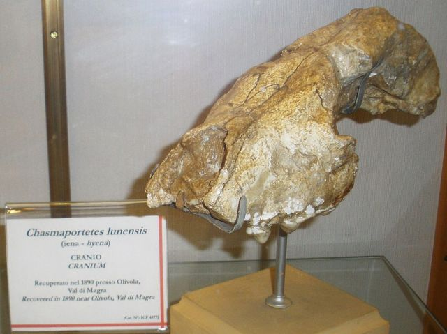 A beautifully preserved skull of Chasmaporthetes lunensis found in Italy. (Image from here)