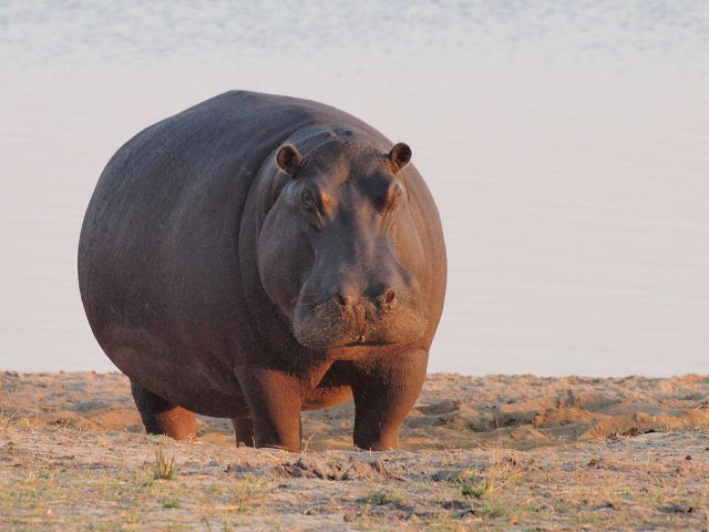 A big hippo out of the water. (Image from here)