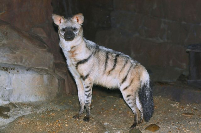 The extant Aardwolf () one of the lesser known species of living hyena (Image from here)