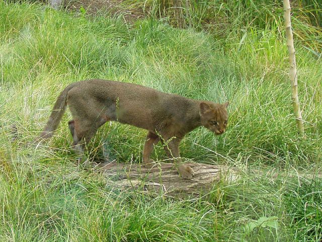 The jaguarundi (or eyra). This housecat sized South American endemic is sometimes tamed as a pet by local Quechua groups.