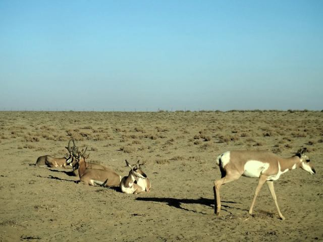 pronghorn along with a photo of pronghorns in a reserve in Baja California (credit for Gerardo Garibay Melo)