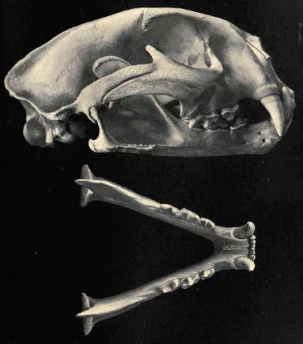 Skull of Puma concolor, image from here