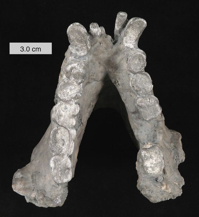An enormous cast of a Gigante black lower jaw. (Image from here)