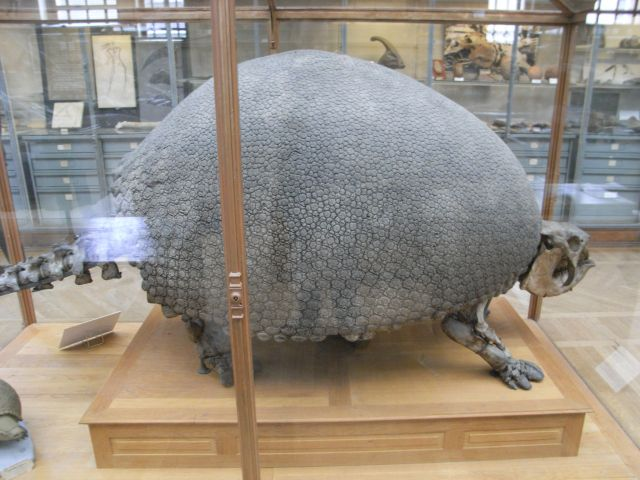 Glyptodon skeleton in the MNHN in Paris, image by @DeepFriedDNA