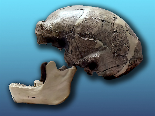 A cast of the skull of the only known (Image from here)