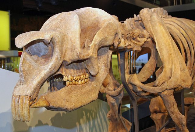 A close up of a skeleton of Diprotodon skull. Those front prominent teeth are clearly visible. (Image from here)