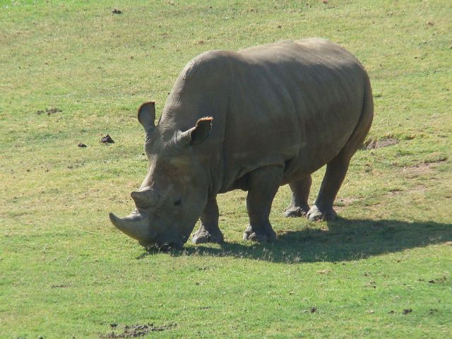 A northern white rhino (mage from here)