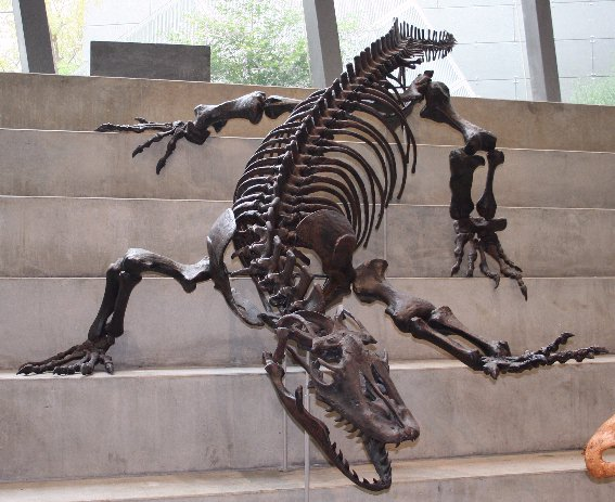 A classic photo of a reconstructed skeleton of Varanus priscus at the Melbourne Museum (Image from here)