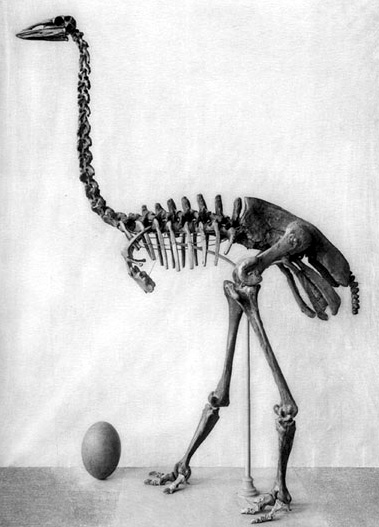 Aepyornis maximus  skeleton and egg