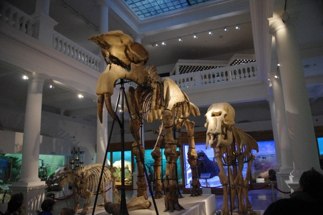 Deinotherium giganteum skeleton in Bucharest, Romania, By Flavius70 from Wikimedia commons