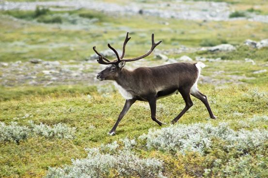 A beautiful reindeer (Rangifer taradus). (Image from here)