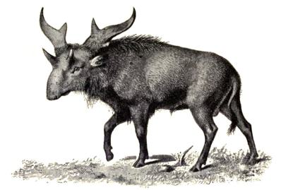 A wonderful old school illustration of Sivatherium, recreated to be a little moose like. Not the wonderful ornatment head. (Image from here).