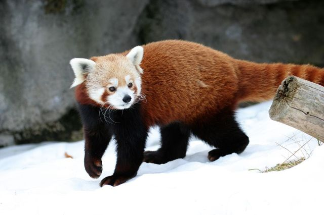 The Red Panda (Ailurus fulgens)