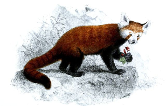 Ailurus fulgens doing what it does best: eating. Public domain image.