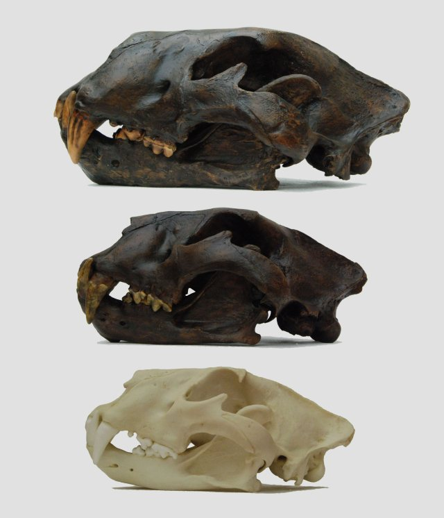 Bottom to top: African lion (Panthera leo), cave lion (Panthera spelaea), American lion (Panthera atrox)