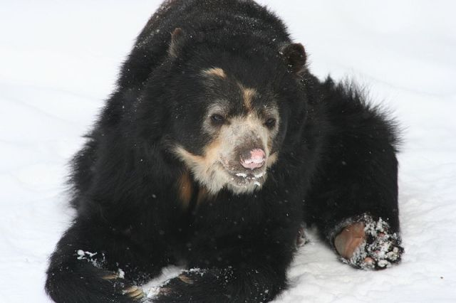 The relatively cuddly spectacled bear (Tremarctos ornatus)
