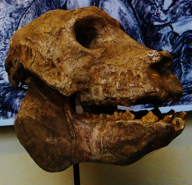 A cast of the only complete skull of the giant lemur, (Iamge by wiki member Ghedo, from here)