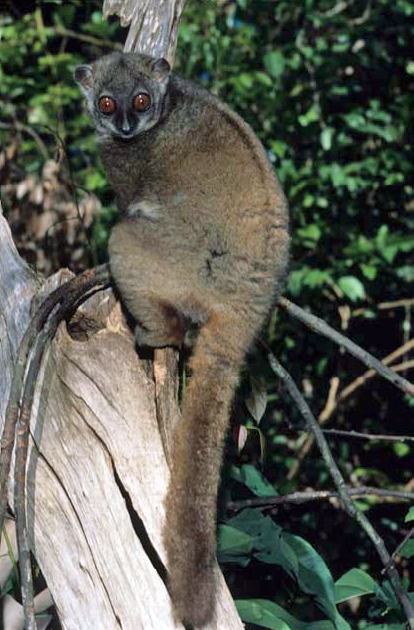 "A beautiful ""Lepilemur sahamalazensis c"" by Lepilemur_sahamalazensis (Image from here)"
