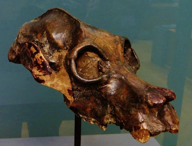 "The fossil skull of another extinct lemur, Palaeopropithicus maximus. There is evidence that humans hunted some lemur species. Image by ""Palaeopropithecus maximus skull 5"" by Ghedoghedo (Image from here)"