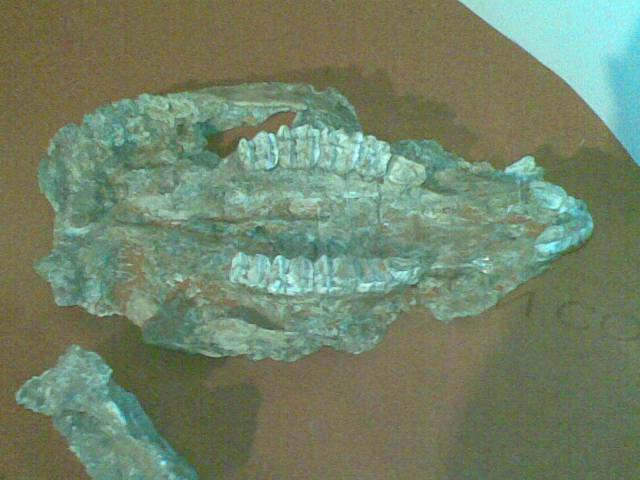 """The extremely large teeth of an unknown Sthenurus species. Not too dissimilar to Proctodon goliah. (Image """"Sthenurus"""" by Enlil Ninlil2 - Own work. Licensed under CC BY-SA 3.0 via Wikimedia Commons - http://commons.wikimedia.org/wiki/File:Sthenurus.jpg#mediaviewer/File:Sthenurus.jpg From here)"""