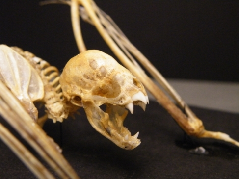 "The skull of a Common Vampire Bat (). Check out those front inciors! (Image by ""Vampire bat skeleton face"" by Mokele - Own work. Licensed under CC BY 3.0 via Wikimedia Commons - http://commons.wikimedia.org/wiki/File:Vampire_bat_skeleton_face.jpg#mediaviewer/File:Vampire_bat_skeleton_face.jpg from here)"