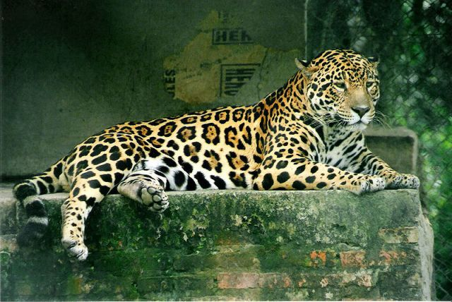 Panthera onca. Photographed in Argentina by Lea Maimone. Image via Wikimedia Commons