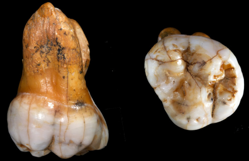 Tooth from Denisova cave. Image from Reichs et al.