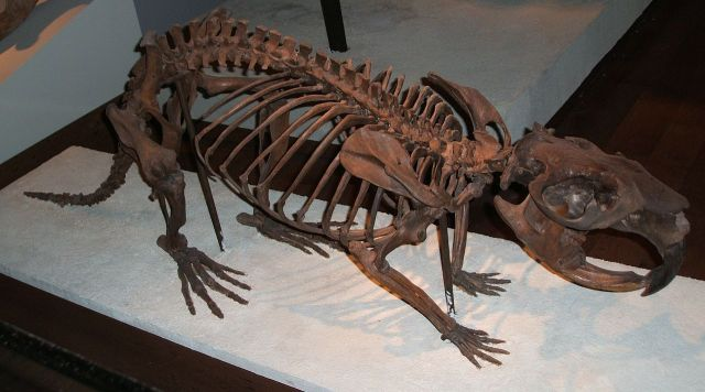The skeleton of teh Giant Beaver (Castoroides ). Image by Steven G. Johnson from here)