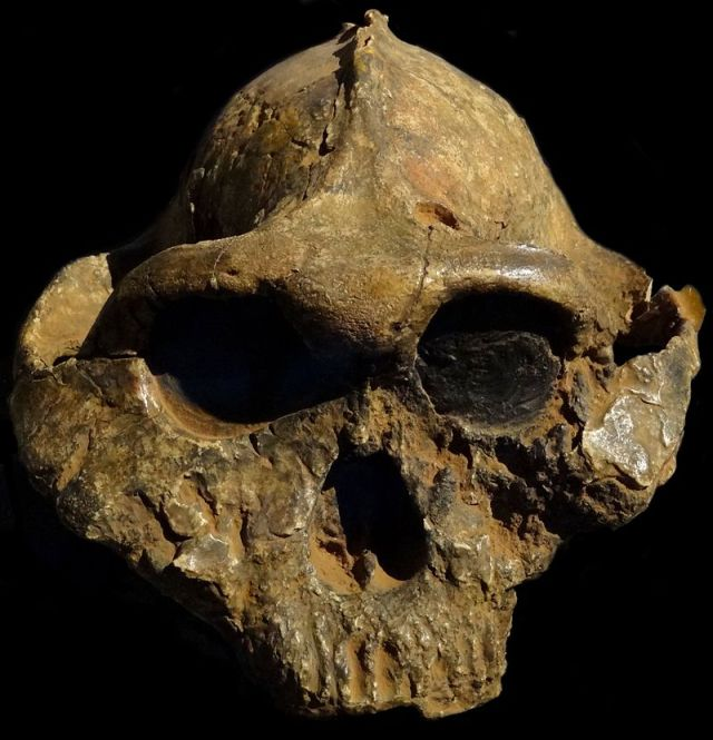"""Paranthropus-boisei-Nairobi"" by Bjørn Christian Tørrissen - Own work by uploader, http://bjornfree.com/galleries.html. Licensed under CC BY-SA 3.0 via Wikimedia Commons - http://commons.wikimedia.org/wiki/File:Paranthropus-boisei-Nairobi.JPG#/media/File:Paranthropus-boisei-Nairobi.JPG"