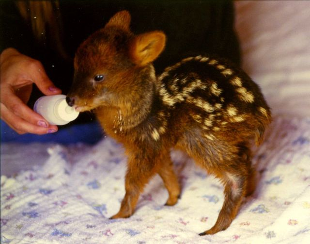 A teeny tiny Pudu fawn.