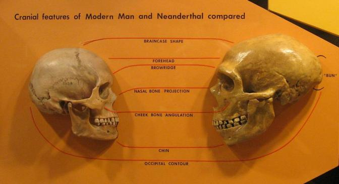"Modern human skull n teh left compared to the more robust skull of a Neanderthal on teh right. (Image ""Sapiens neanderthal comparison"" by hairymuseummatt - http://www.flickr.com/photos/hmnh/3033749380/. Licensed under CC BY-SA 2.0 via Wikimedia Commons - http://commons.wikimedia.org/wiki/File:Sapiens_neanderthal_comparison.jpg#/media/File:Sapiens_neanderthal_comparison.jpg)"