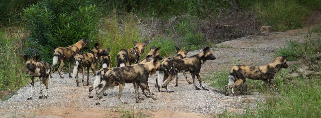 "A pack of African hunting dogs. (""Wild Dog Kruger National Park South Africa"" by Bart Swanson(Bkswanson) - Own work. Licensed under CC BY-SA 3.0 via Wikimedia Commons - http://commons.wikimedia.org/wiki/File:Wild_Dog_Kruger_National_Park_South_Africa.jpg#/media/File:Wild_Dog_Kruger_National_Park_South_Africa.jpg)"