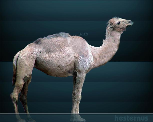 Camelops hesternus bu Sergiodlarosa