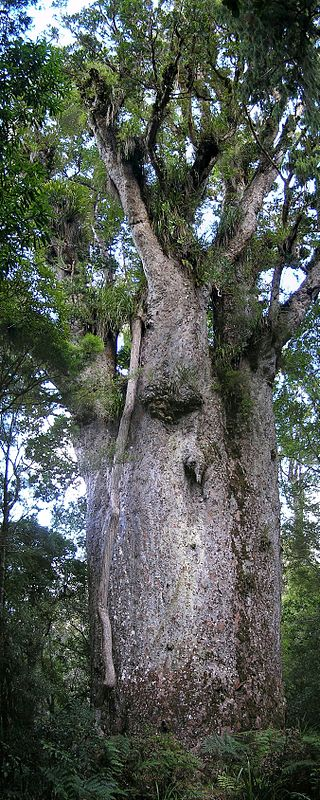 "The oldest of them all, Te Matua. (""Kauri Te Matua Ngahere"". Licensed under CC BY-SA 3.0 via Wikimedia Commons - https://commons.wikimedia.org/wiki/File:Kauri_Te_Matua_Ngahere.jpg#/media/File:Kauri_Te_Matua_Ngahere.jpg"