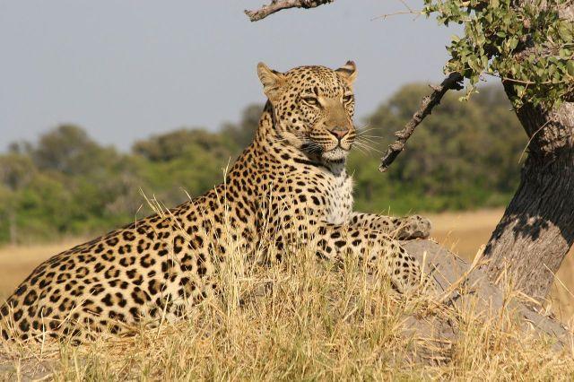 A magnificent, proud African leopard (Panth pardus) (Image Public Domain)