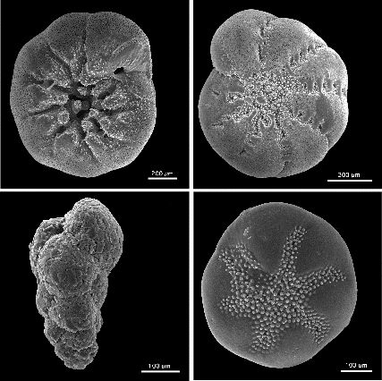 The tests of four different species of forams imaged under a Scanning Electron Microscope highlighting incredible detail.