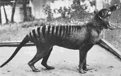 Picture of a Thylacine exhibiting its enormous gape, taken by the Zoologist David Fleay. The animal later bit him on the arse.