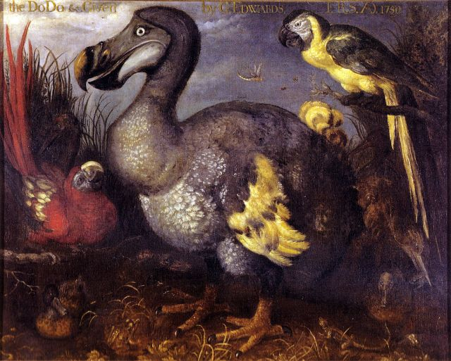 """Edwards' Dodo"" by Roelant Savery - http://julianhume.co.uk/wp-content/uploads/2010/07/History-of-the-dodo-Hume.pdf. Licensed under Public Domain via Commons - https://commons.wikimedia.org/wiki/File:Edwards%27_Dodo.jpg#/media/File:Edwards%27_Dodo.jpg"