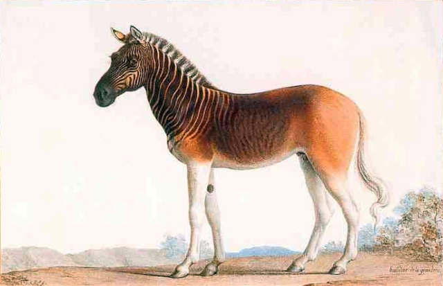 """Quagga"" by Nicolas Marechal - PD painting. Licensed under Public Domain via Commons - https://commons.wikimedia.org/wiki/File:Quagga.jpg#/media/File:Quagga.jpg"