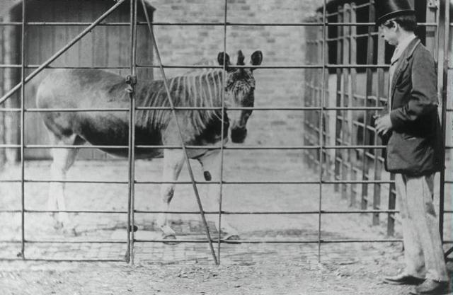 Photo from ARKive of the Quagga (Equus quagga quagga) - http://www.arkive.org/quagga/equus-quagga-quagga/image-G1861.html