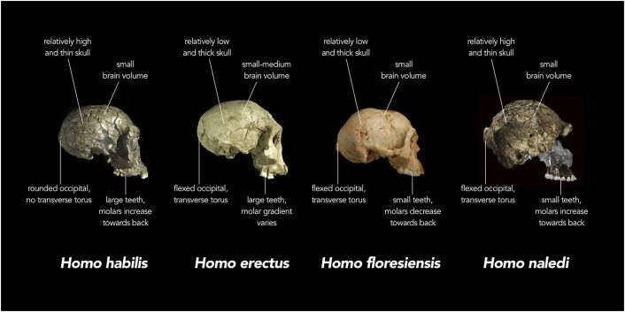 """Comparison of skull features of Homo naledi and other early human species"" by Chris Stringer, Natural History Museum, United Kingdom - Stringer, Chris (10 September 2015). ""The many mysteries of Homo naledi"". eLife 4: e10627. DOI:10.7554/eLife.10627. PMC: 4559885. ISSN 2050-084X.. Licensed under CC BY 4.0 via Commons - https://commons.wikimedia.org/wiki/File:Comparison_of_skull_features_of_Homo_naledi_and_other_early_human_species.jpg#/media/File:Comparison_of_skull_features_of_Homo_naledi_and_other_early_human_species.jpg"