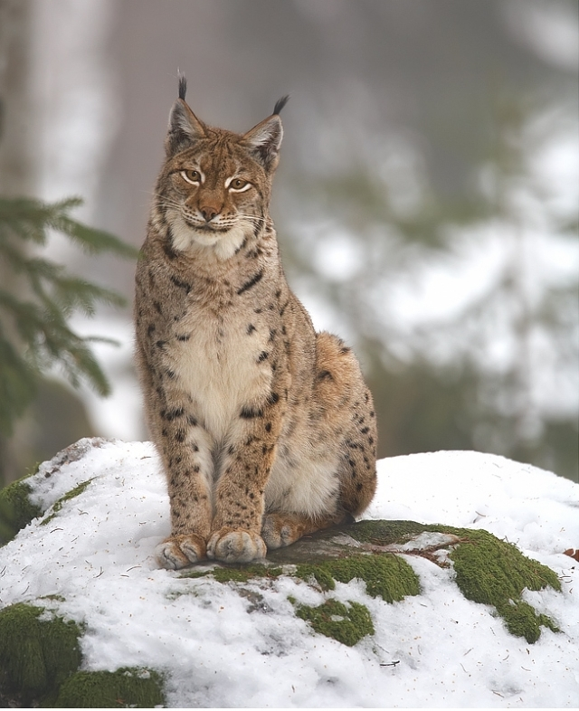Northern lynx in Nationalpark Bayerischer Wald, Germany. Image by Martin Mecnarowski via Wikimedia Commons