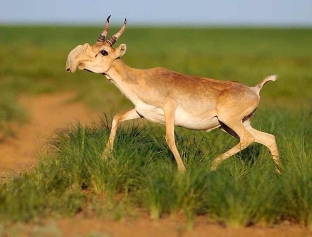 The gorgeous saiga antelope (