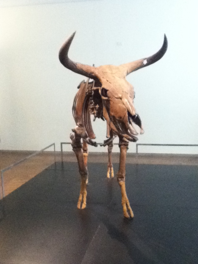 Danish Aurochs (Bos primigenius) in the National Museum of Denmark. Image author's own.