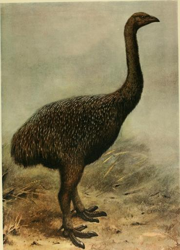 "A reconstruction of the upland Moa. (Megalapteryx sp.) from Baron Rothschild's book ""Extinct Birds"". (Public Domain)"